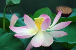 East Indian Lotus - Rosea Plena