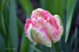 Parrot Tulip Fantasy