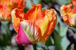 Parrot Tulip Orange Favorite